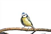 18th Feb 2019 - Blue Tit on a branch.....