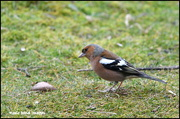 18th Feb 2019 - Mr Chaffinch