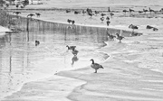 18th Feb 2019 - Geese on Ice