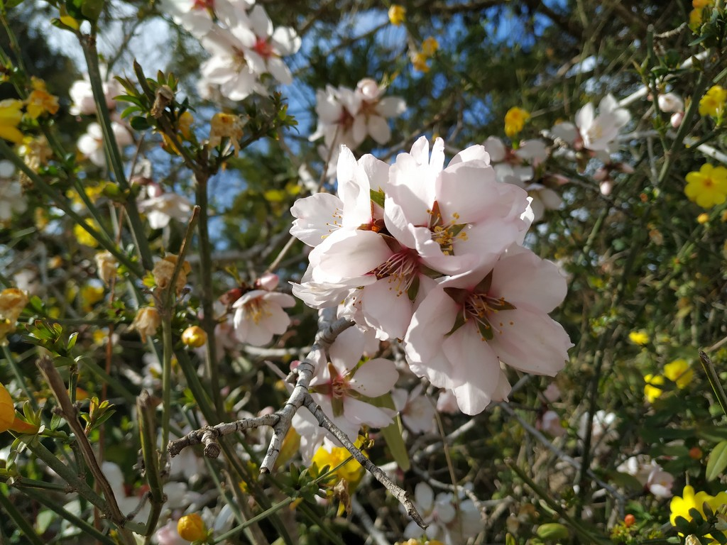 Almond Trees are Blooming by shilohmom
