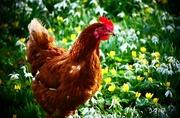 18th Feb 2019 - Spring Chicken??