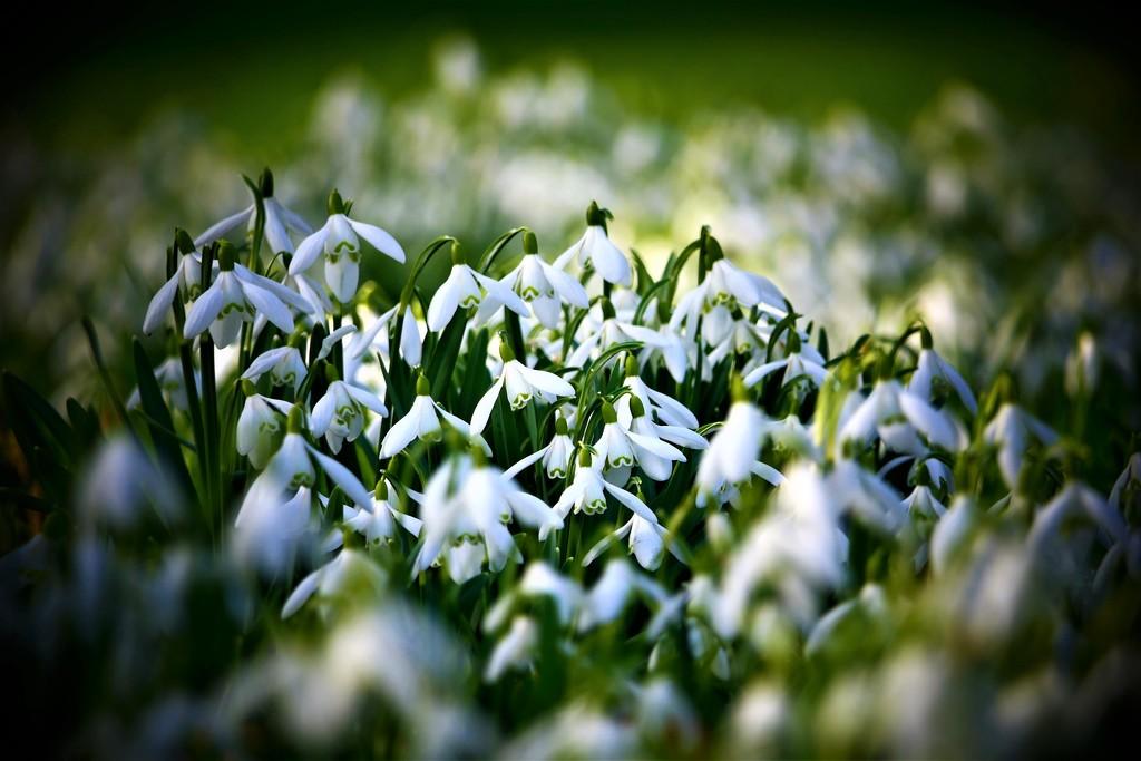 Snow Drop Carpet by carole_sandford