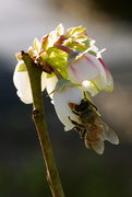18th Feb 2019 - Buzzing the Blueberry Blooms