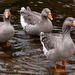 Y10 D049 More Geese