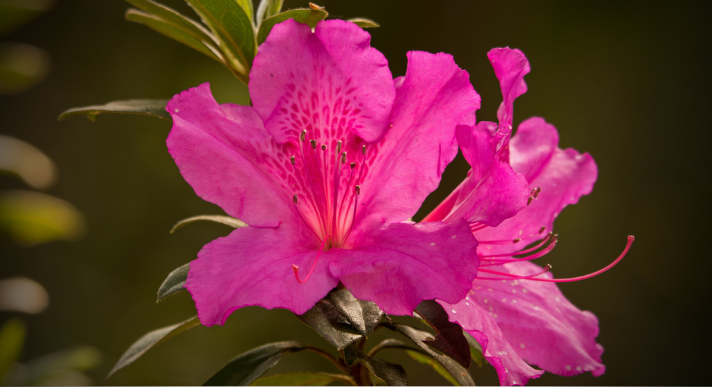 The Azaleas are Really Coming Out! by rickster549