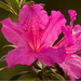 The Azaleas are Really Coming Out!