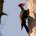 Pileated Woodpecker Building the House!