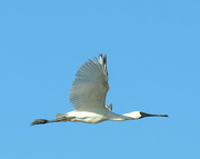 19th Feb 2019 - Royal spoonbill in flight
