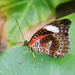 Orange Lacewing Butterfly by onewing