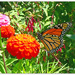 Robin's Zinnias and Butterflies..