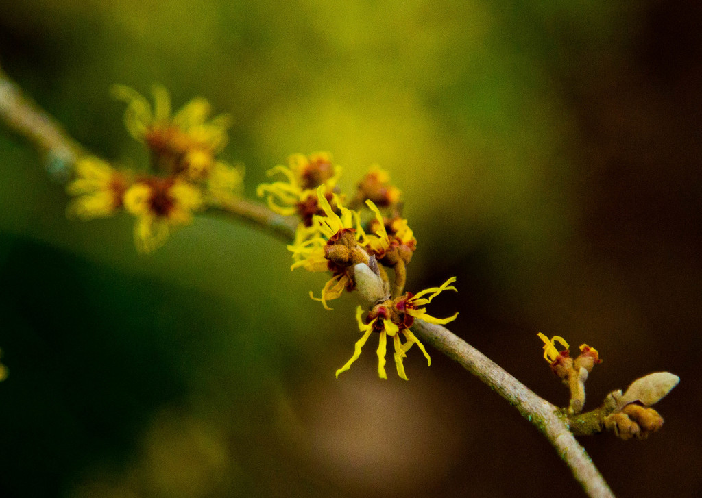 Witch-hazel by nicolaeastwood