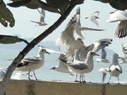 14th Feb 2019 - Migratory birds at Chowpatty