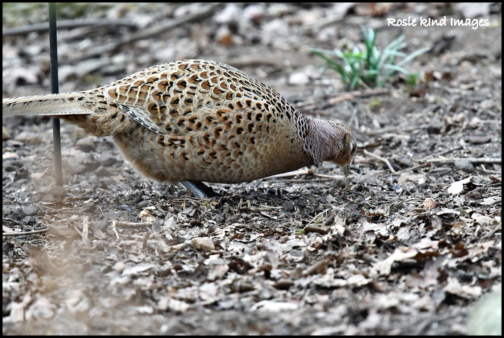 Female pheasant by rosiekind