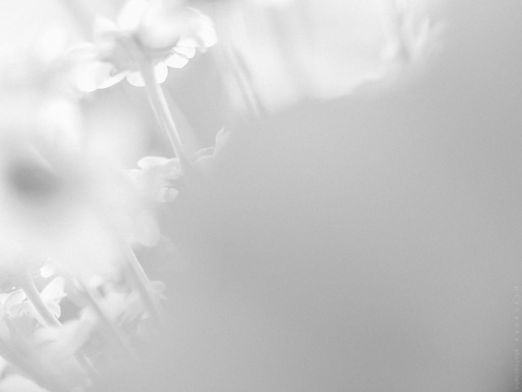 sunshine daisy  by pistache