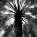 Palm Tree In Black & White