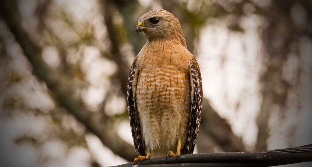 Red Shouldered Hawk on the Wires! by rickster549