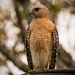 Red Shouldered Hawk on the Wires!