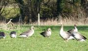 20th Feb 2019 - Geese
