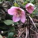 Hellebore showing it's lovely face
