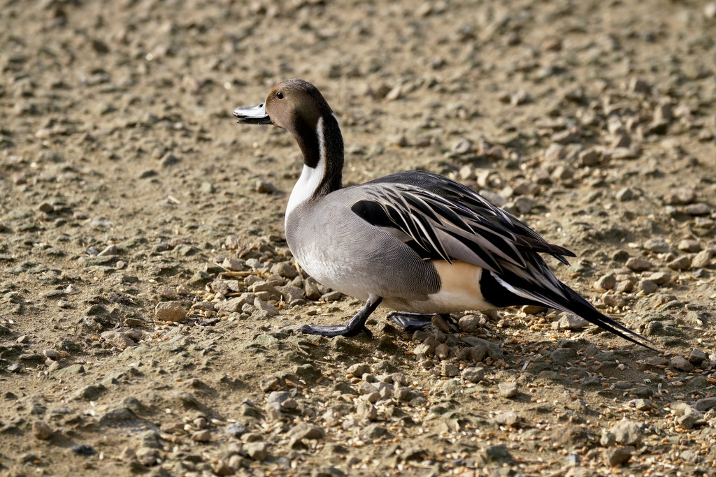 PINTAIL ASHORE by markp