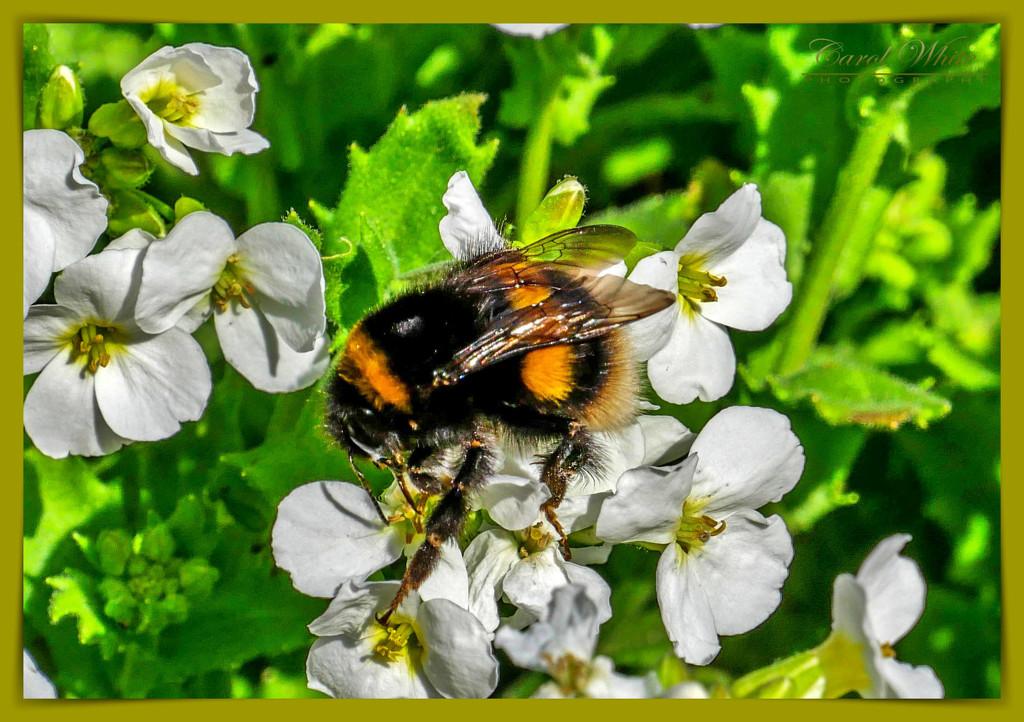 Brave Bumble Bee by carolmw