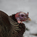 Wild Turkey in the snow