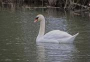 20th Feb 2019 - I'm a swan!