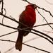 Mr Cardinal Protecting His Territory!