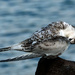 Young white fronted tern preening