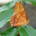 Male Cruiser Butterfly