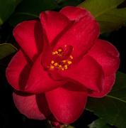 20th Feb 2019 - Camellia