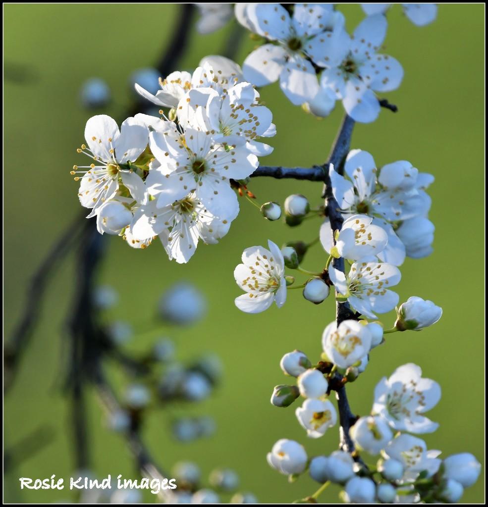 Plum blossom by rosiekind