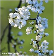 20th Feb 2019 - Plum blossom