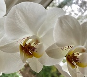 21st Feb 2019 - White Orchid
