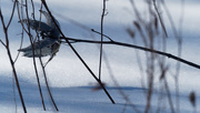 21st Feb 2019 - milkweed over snow crystals