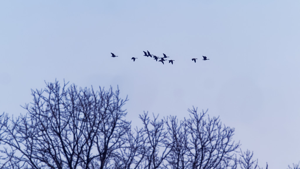 geese over trees by rminer