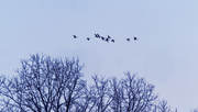 21st Feb 2019 - geese over trees