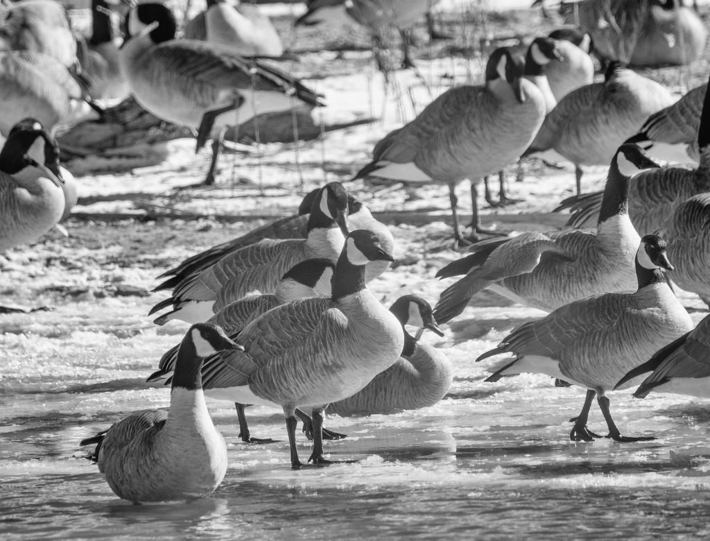 geese by aecasey