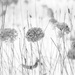 Black and white hydrangea plants!