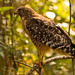 Red Shouldered Hawk, Jumped Out of the Bushes!