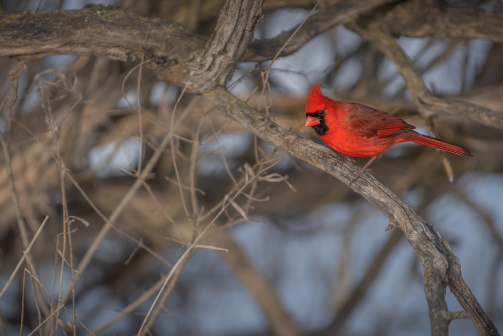 cardinal in a tree by jackies365