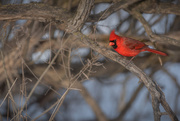 21st Feb 2019 - cardinal in a tree