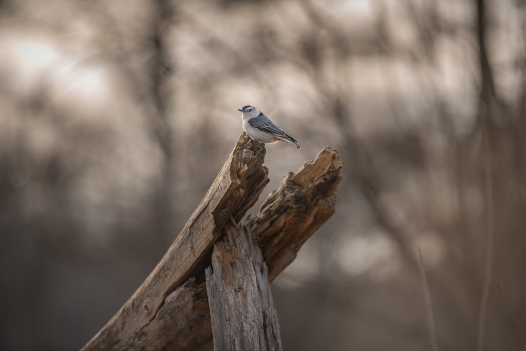 nuthatch bully! by jackies365