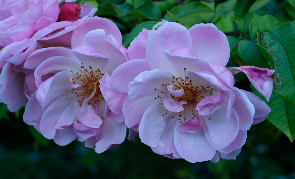 Pink roses by maureenpp