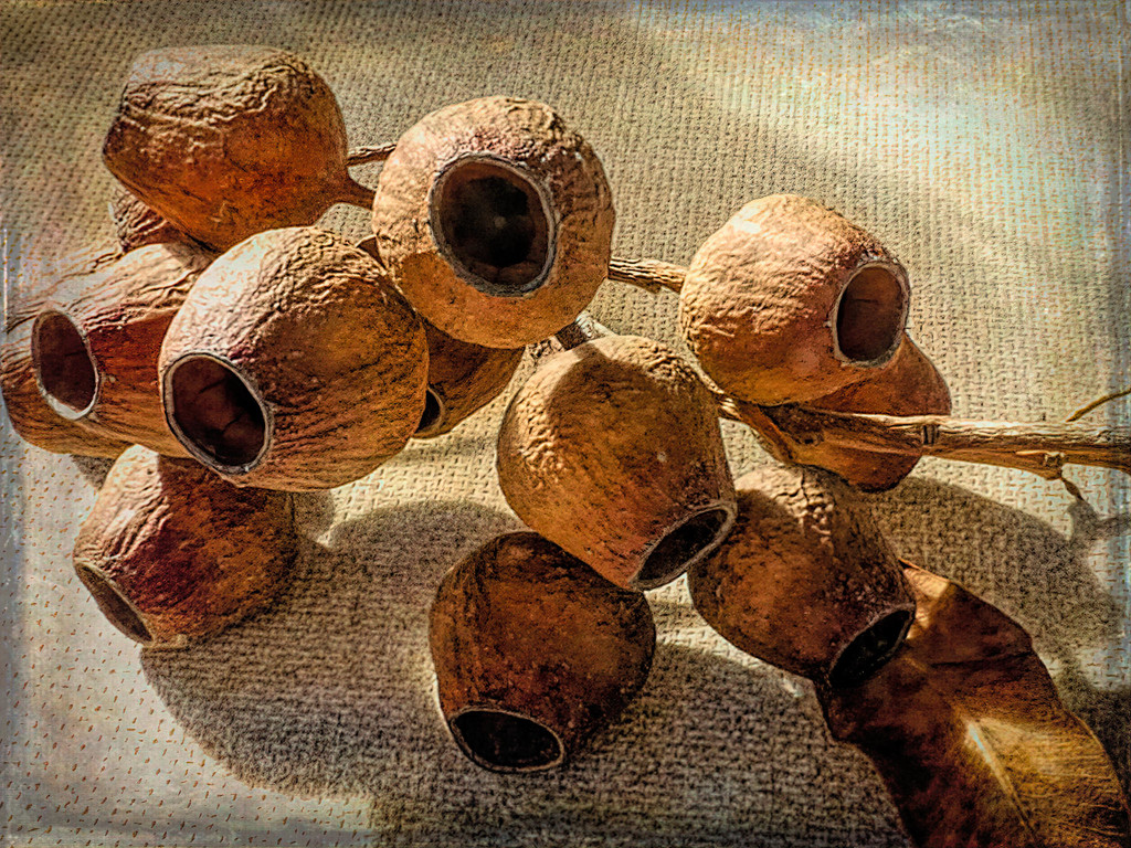 Gum nuts by ludwigsdiana