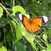 Female Orange Lacewing Butterfly