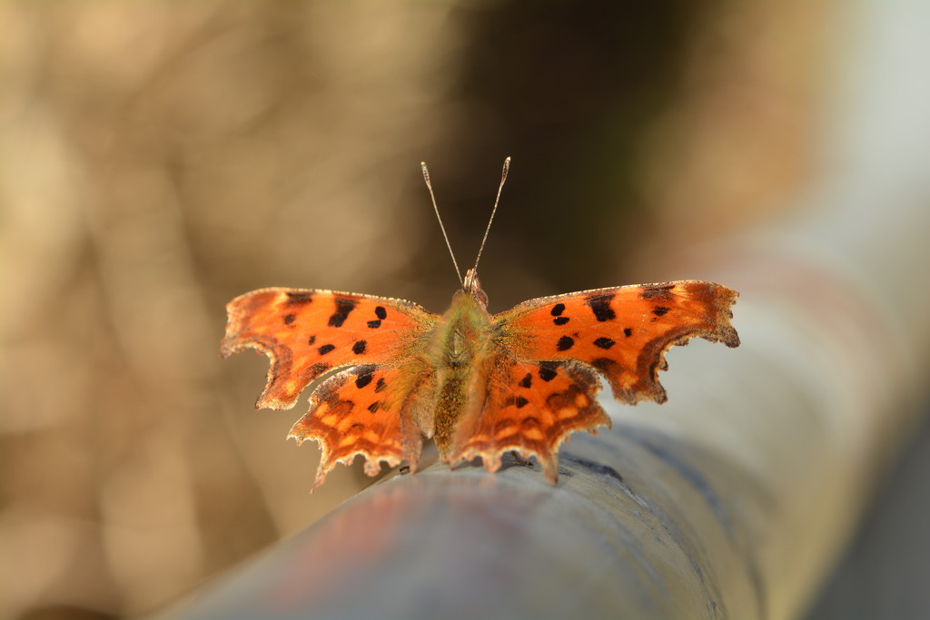 Butterfly........Comma?? by ziggy77