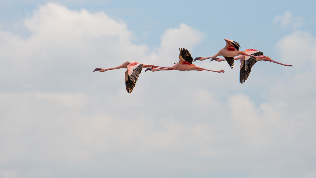 Flamingos in Flight by taffy