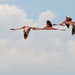Flamingos in Flight by taffy