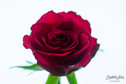 22nd Feb 2019 - Red rose